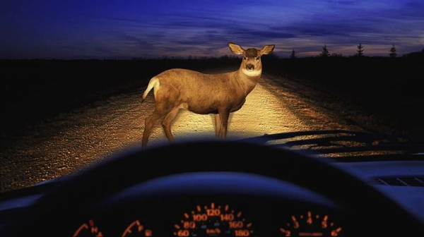 COURTESY PHOTO: STATE FARM - State Farm's 15th annual deer collision survey found that drivers in Oregon were more likely to hit a deet than drivers in neighboring states.