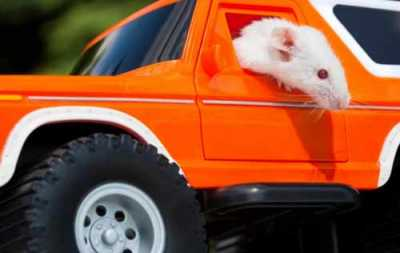 Rat behind the wheel of a toy car.